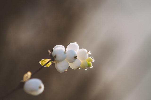 [266] Snowberry