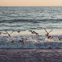A fling of Sandpipers taking off