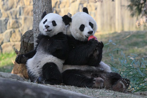 """Bao Bao:  """"Phhhbbbttt--Mama won't let me have any of da tweet!  Boo!"""""""
