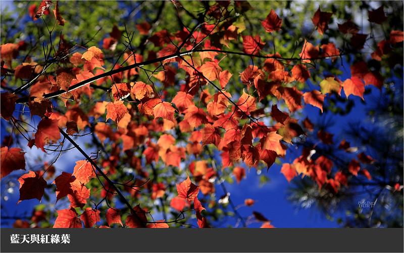 藍天與紅綠葉