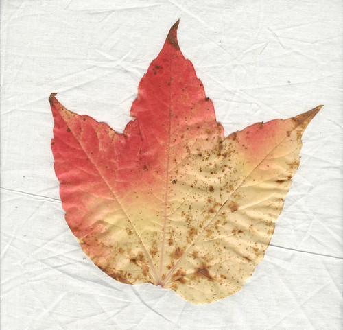 Weinlaub Vine Leaves Leaf Wein Blatt Blätter Herbst Autumn scan