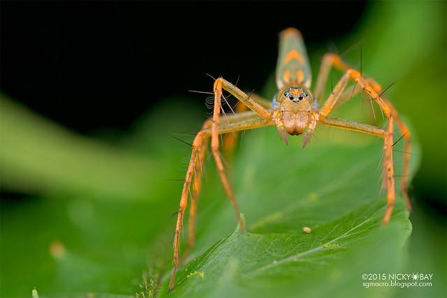 Lynx spider (Hamadruas sp.) - DSC_3212