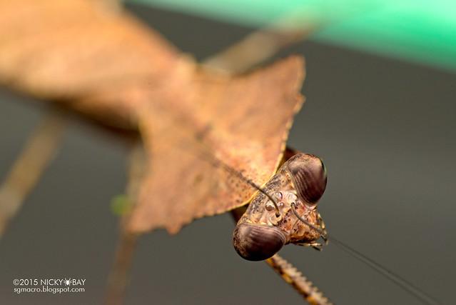 Dead leaf mantis (Deroplatys sp.) - DSC_4285