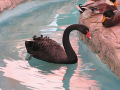 animal(1.0), black swan(1.0), water bird(1.0), swan(1.0), fauna(1.0), reflection(1.0), beak(1.0), bird(1.0),