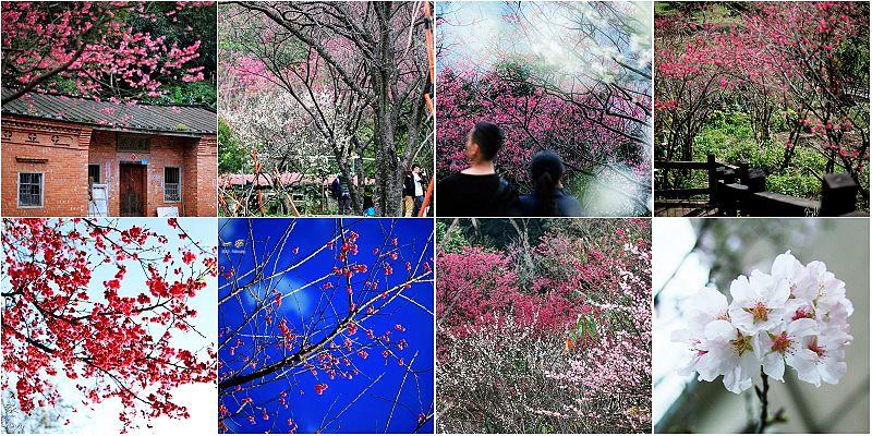 台灣櫻花季