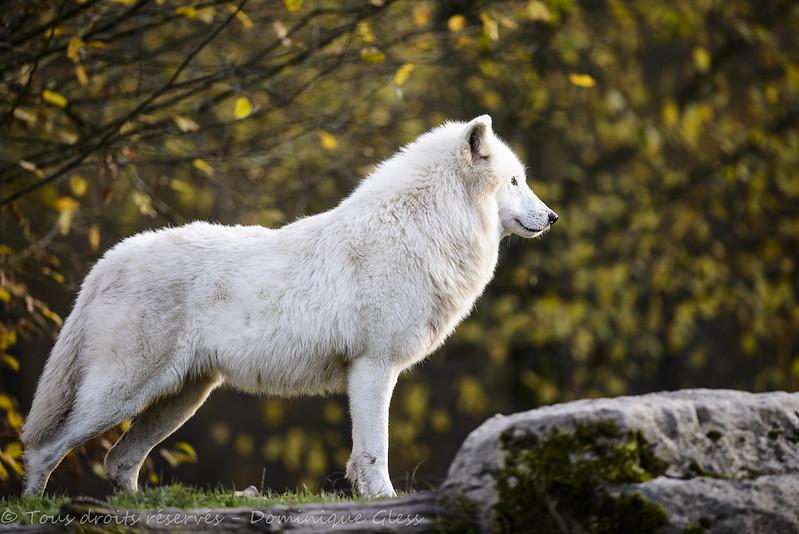 Loups blancs d'Alaska