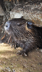 porcupine(0.0), animal(1.0), otter(1.0), rodent(1.0), fauna(1.0), muskrat(1.0), whiskers(1.0), beaver(1.0), mink(1.0), wildlife(1.0),