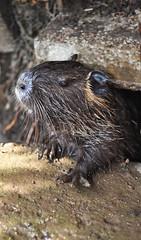 animal, otter, rodent, fauna, muskrat, whiskers, beaver, mink, wildlife,