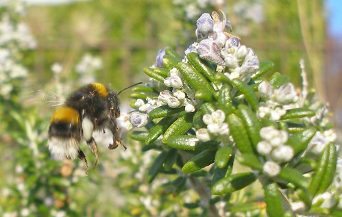 Bumblebee worker on rosemary 2