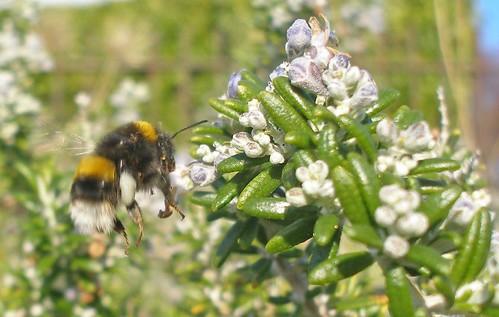 Bumblebee worker on rosemary 2