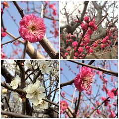 ume blossoms earlier at suigetsu park #ikeda #osaka #ume #suigetsupark #池田 #大阪 #梅 #水月公園