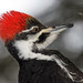 Pileated Woodpecker by Nick Saunders