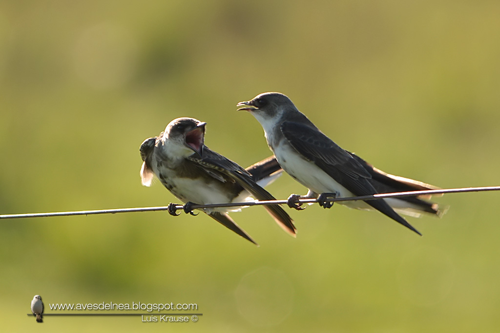 Golondrina parda (Brown-chested Martin) Progne tapera466
