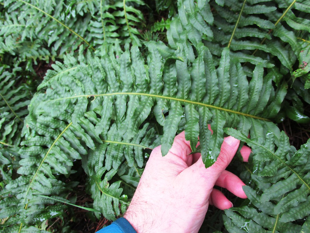 Licorice Ferns
