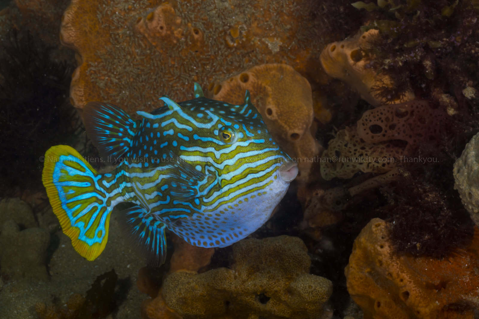 Male Shaw's cowfish (Aracana aurita)