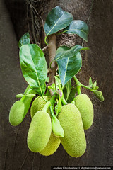 Jackfruit tree