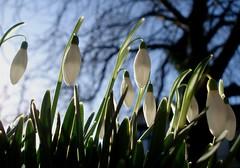 Dawn Snowdrops