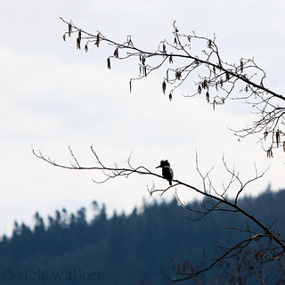 Belted Kingfisher... Fishing...