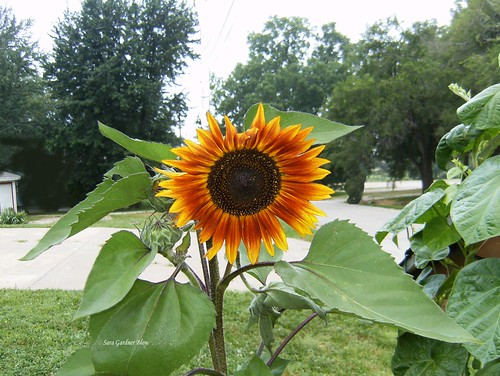 flowers summer nature sunflowers sunflower variety habitat