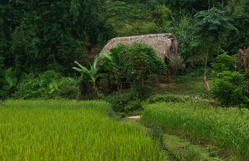 green geotagged rice path vietnam hut ricefield bananatree hagiang
