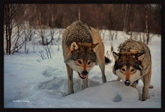 Langedrag, ulv.