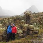 Sa, 28.02.15 - 13:35 - Frailejones oder Schopfrosetten. DIE prägende Pflanze des Paramo, einer Klimazone der Anden