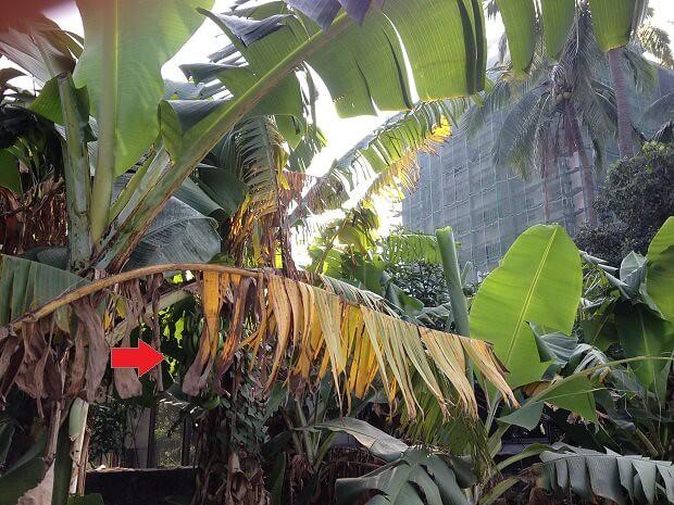 160711 台湾バナナの木2