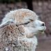 Alpaca Wool by cheryl strahl