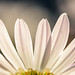 Backlit Daisy Petals by KAM918