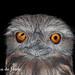 Tawny frogmouth.jpg by Jordan de Jong