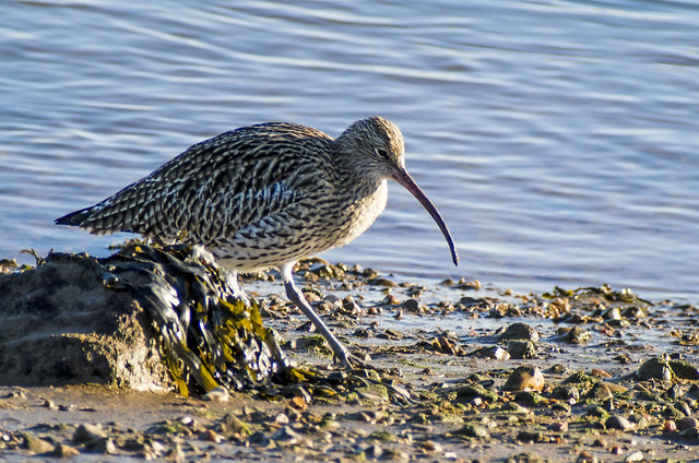 curlew 432 (29)