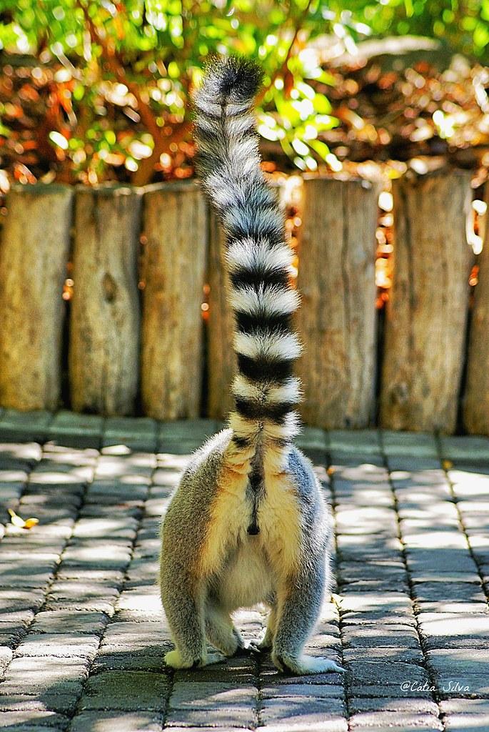 Bioparc Valencia_Madagascar (1) Lemur de cola anillada
