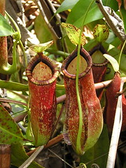 N. x coccinea ((rafflesiana x ampullaria) x mirabilis)
