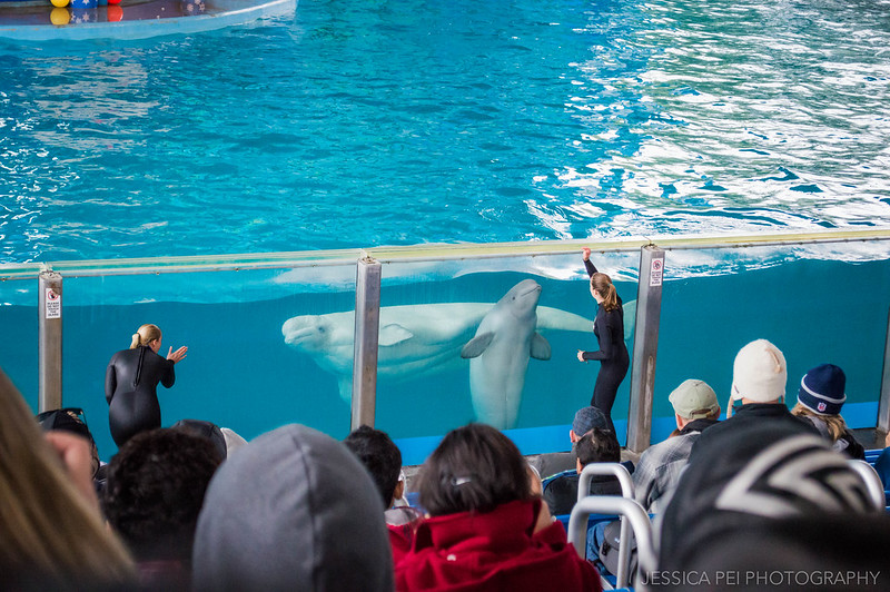 Beluga Whales Show Sea World San Antonio