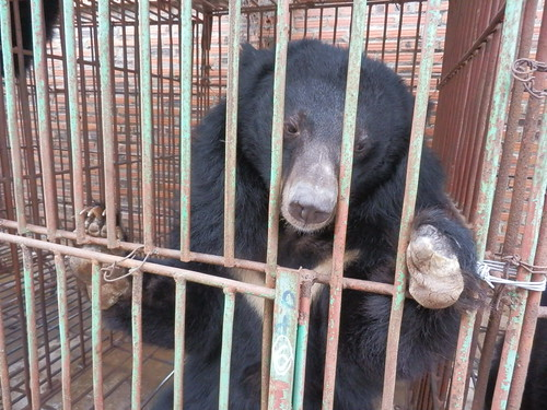 Bear in the cage on Cau Trang bear farm 7