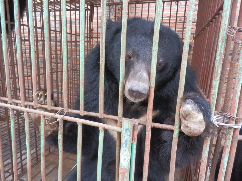 Bear with a missing limb at Cau Trang bear farm