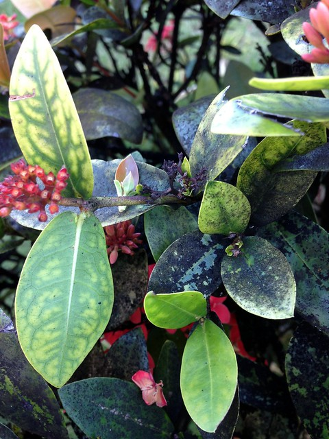 Autos By Nelson >> Ixora pavetta: Iron deficiency and sooty mold | Flickr - Photo Sharing!