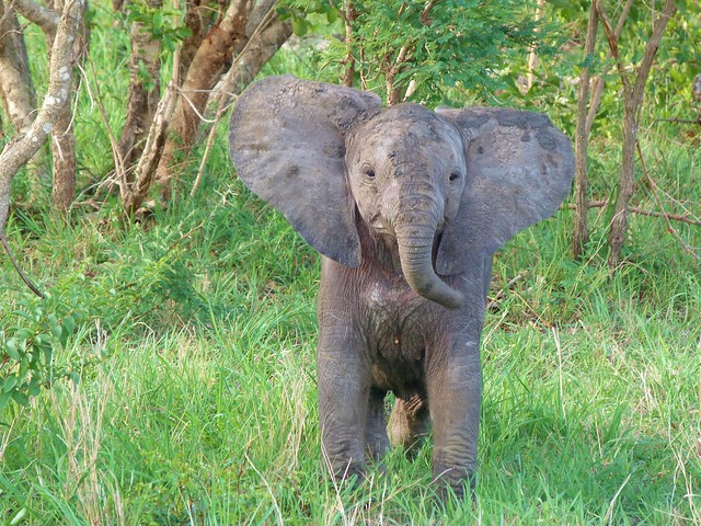 Bebé elefante en Sabi Sand (Parque Nacional Kruger, Sudáfrica)