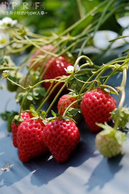 劉正男高冷草莓園  (39)