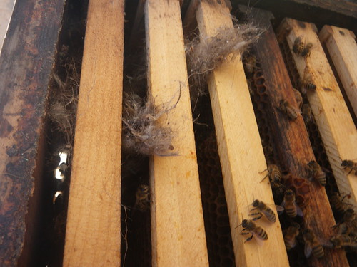 Mouse nest viewed from bottom of hive box.