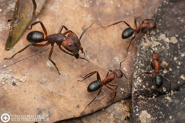 A Soldier Ant guiding the Workers