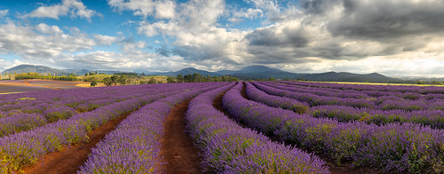 beauty farm lavender crop tasmania fields bridgestowe