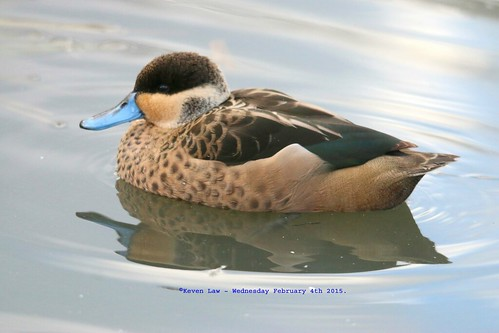 england bird london birds duck teal feathers ducks aves barnes wetland londonwetlandcentre anseriformes wetlandcentre featheryfriday anatinae hottentotteal anashottentota hottentotduck