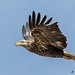 Young Bald Eagle by ghostrider_200