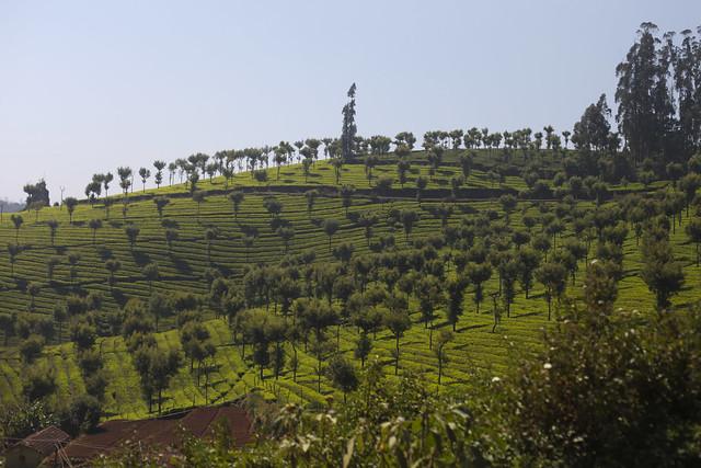 Plantations de thé Coonoor