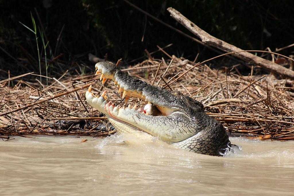 en krokodille i Australien