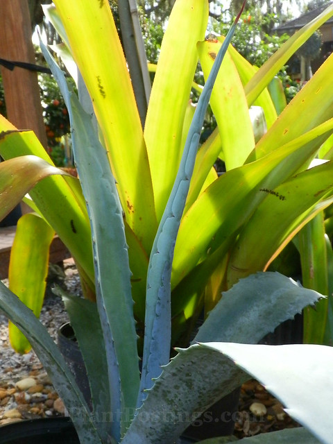 agave and bromeliad