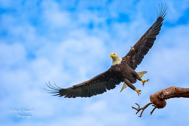 bald eagle_DSC6792