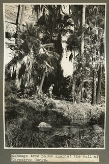 Studying the Cabbage Tree palms in Carnarvon Gorge August 1938