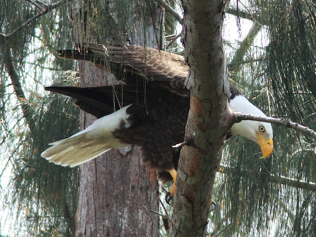 Bald Eagle male roosts on right branch 20150316